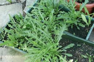 Un pesto con la rucola, l'erba lussuriosa dei Romani