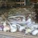 Aglio di Vessalico in fase di essicatura